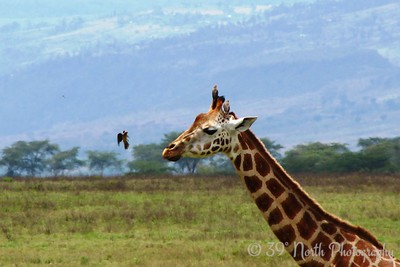 Giraffe with Birds by Angie K.