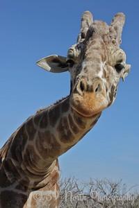 Giraffe by Diana G.