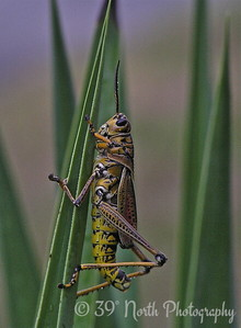 GRASSHOPPER by Mikki K.