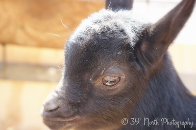 ...Baby Goat looking at Grandma! by Annet H.