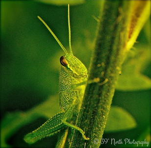 A Cute little GREEN HOPPER by Mikki K.