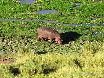 Hippo by Angie K.