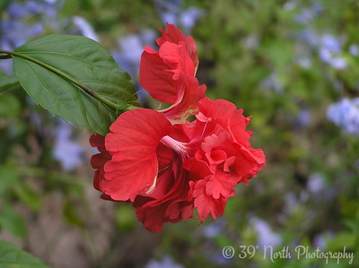 A Double Hibiscus by Mikki K.