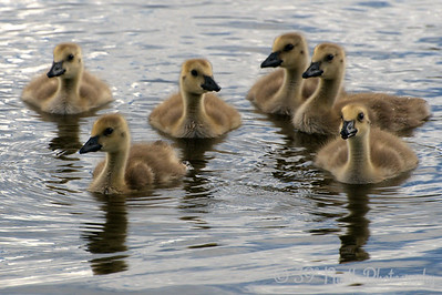 Itty Bitty Gooselets by Laurie H.