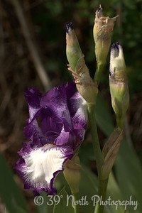 Iris by Laurie H.
