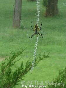 Itsy Bitsy Spider by Sandi P.