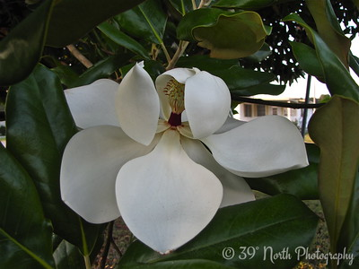 So lovely, the Magnolia by Mikki K.
