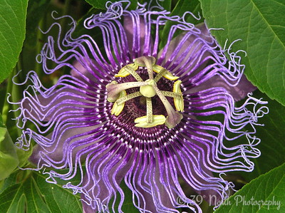 Out of this world Maypop flower by Mikki K.