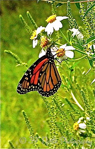 Monarch at Work by Mikki K.