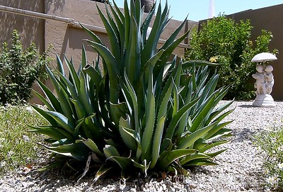 Octopus Agave by Norma H.