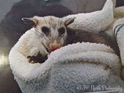 Little Ozzy 'possum by Mikki K.