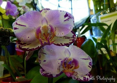 Orchids by Norma H.
