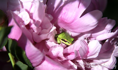 Occupado in Orcas : frog living in a peony by Karen B.