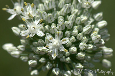 Onion Flowers by Laurie H.