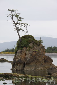 Oregon coastal tree by Karen B.