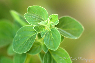 Oregano by Laurie H.