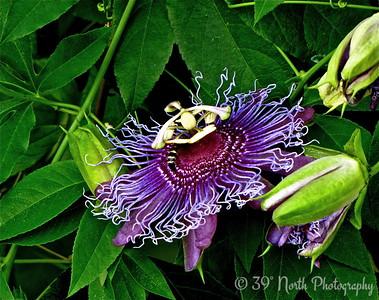 Purple Passion Flower by Mikki K.