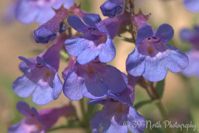 Penstemons by Laurie H.