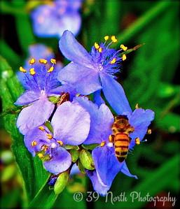 Purple Spider Wort & Friend by Mikki K.