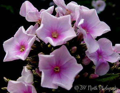 Phlox by Norma H.