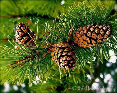 Little Pine Cones by Mikki K.