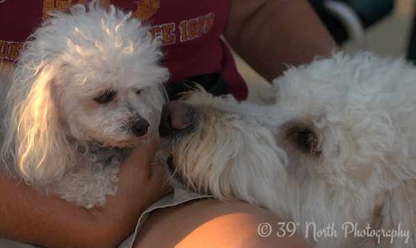 Petite Poodle and Pal by Laurie H.
