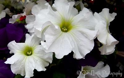 Petunias by Norma H.