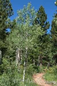 Quaking Aspen by Laurie