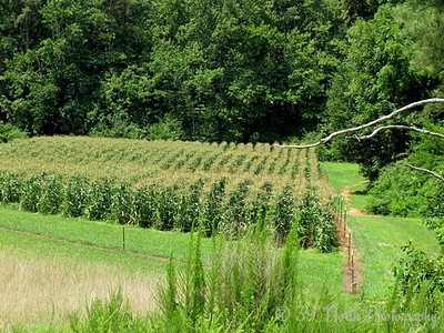 Rolling Rows of Corn by Dave