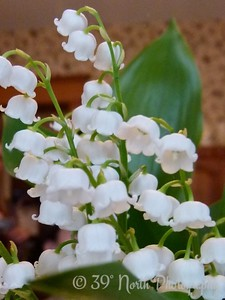 Lilies of the Valley by Norma H.