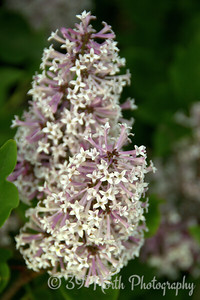 Late-Blooming Lilacs by Laurie H.