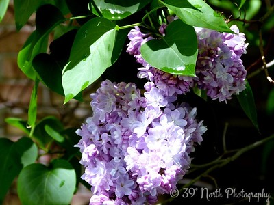 Lilacs by Norma H.