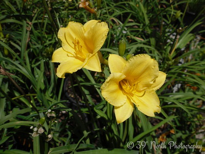 Lilies by Betty S.