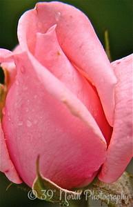 Lovely in Pink by Mikki K.