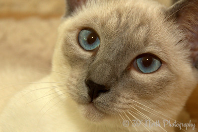 Sweet Siamese Sophie by Laurie