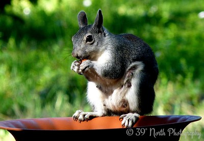 Squirrel with tasty treat by Norma