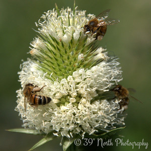 Team Teasel by Laurie