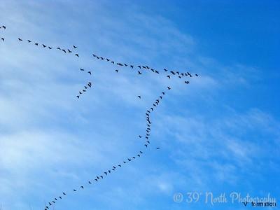'V' formation by Sandi P.