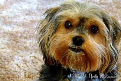 Yorkie-poo by Norma H.