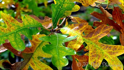 Turning oak by Norma H.