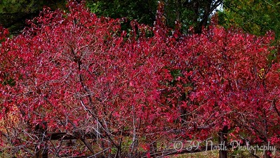 Colorful bushes by Norma H.