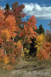 Multi-colored Aspens by Laurie H.