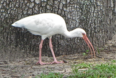 White Ibis by Mikki K.