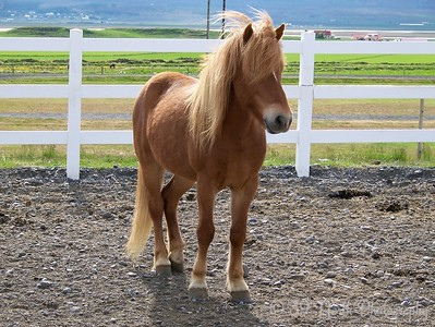 Icelandic Horse by Dave T.