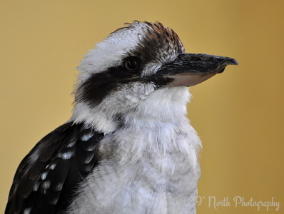 Kookaburra by Laurie H.