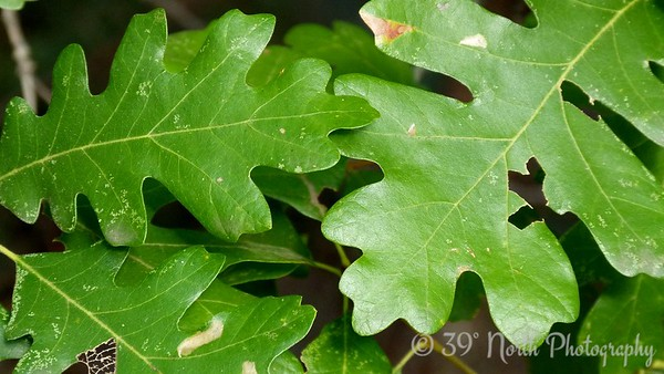 Oak leaves by Norma H.