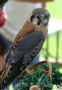 Kestrel by Norma H.