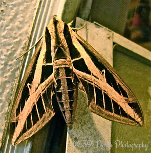 Lovely Sphinx Moth by Mikki K.