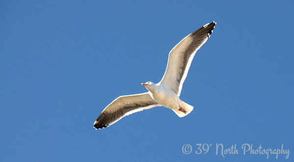 Soaring Seagull by Laurie H.