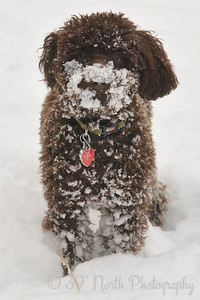 Snowpoodle by Laurie H.